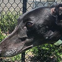 Adopt A Pet :: PJ Ultra Lord - Longwood, FL