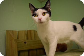 Domestic Shorthair Cat for adoption in Canastota, New York - Sage