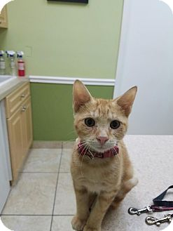 Domestic Shorthair Kitten for adoption in Lighthouse Point, Florida - Leo