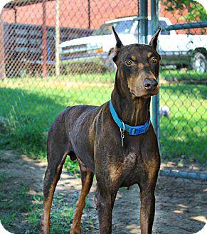 Doberman Pinscher Dog for adoption in Shreveport, Louisiana - Marshall