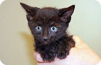 Domestic Shorthair Kitten for adoption in Wildomar, California - Bailey
