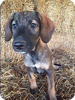 German Shepherd Dog/Labrador Retriever Mix Puppy for adoption in Medina, Tennessee - Bolden