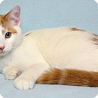 Adopt A Pet :: Dolce - Fort Leavenworth, KS