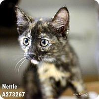 Domestic Mediumhair Cat for adoption in Conroe, Texas - NETTLE