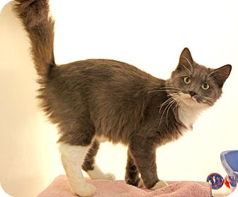 Domestic Mediumhair Cat for adoption in Harrisonburg, Virginia - Whispurr
