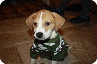 Labrador Retriever/Hound (Unknown Type) Mix Puppy for adoption in Brooklyn, New York - Austin