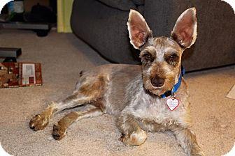 Schnauzer (Miniature) Dog for adoption in Laurel, Maryland - Max-Pending adoption