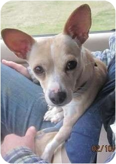 Chihuahua Mix Dog for adoption in Afton, Tennessee - Missy