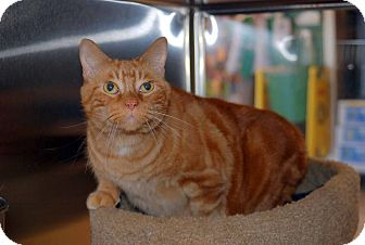 Domestic Shorthair Cat for adoption in New Port Richey, Florida - Milo