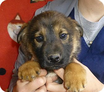 Golden Retriever/German Shepherd Dog Mix Puppy for adoption in Oviedo, Florida - Tennessee