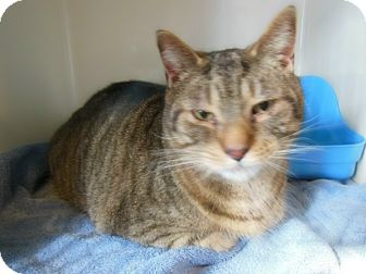 Domestic Shorthair Cat for adoption in Sanford, Maine - Vinny