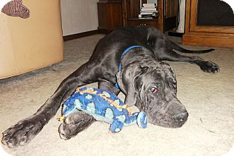 Great Dane Dog for adoption in Broomfield, Colorado - Baby Blue