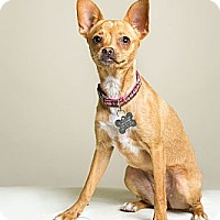 Adopt A Pet :: Aria - Phoenix, AZ