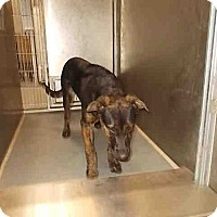 Adopt A Pet :: Brinkly - Tracy, CA