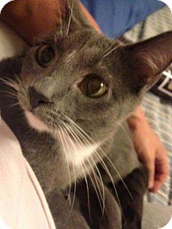 Domestic Shorthair Cat for adoption in Fenton, Missouri - Darby