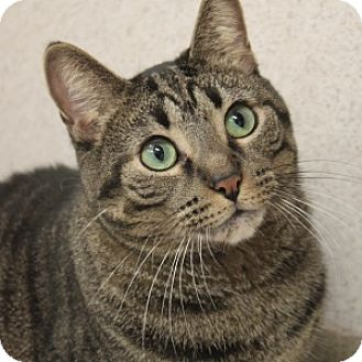 Domestic Shorthair Cat for adoption in Naperville, Illinois - Tabitha