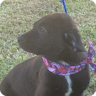 Labrador Retriever/Shepherd (Unknown Type) Mix Puppy for adoption in Albany, New York - Ralphie