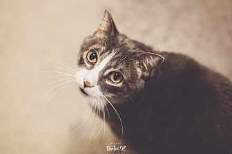 Domestic Shorthair Cat for adoption in New Richmond,, Wisconsin - Grady
