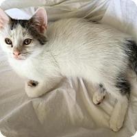 Adopt A Pet :: Paloma - Brooklyn, NY