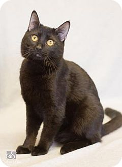Domestic Shorthair Cat for adoption in Fort Collins, Colorado - Crow
