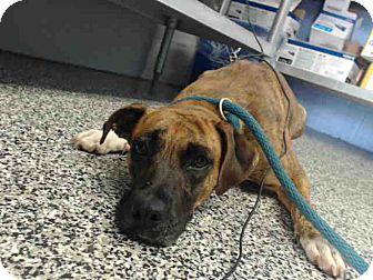 Pit Bull Terrier Mix Dog for adoption in San Bernardino, California - URGENT on 10/22 SAN BERNARDINO