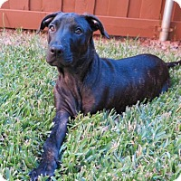 Adopt A Pet :: Parker III - Dallas, TX