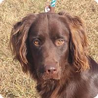 Adopt A Pet :: Duke - Brattleboro, VT
