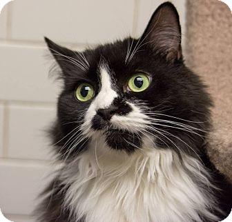 Domestic Longhair Cat for adoption in New York, New York - Chelsea