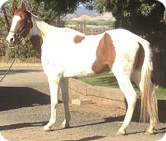 Paint/Pinto/Gaited Mix for adoption in Newcastle, California - Sunny