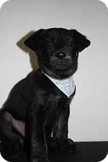 Plott Hound/Labrador Retriever Mix Puppy for adoption in Stilwell, Oklahoma - Lily