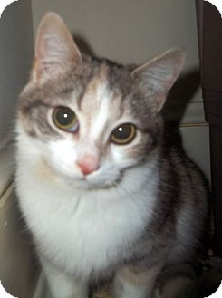 Manx Cats For Adoption Mn