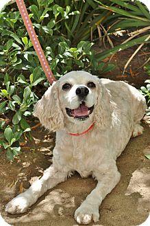 Cocker Spaniel Dog for adoption in Mission Viejo, California - Sarah