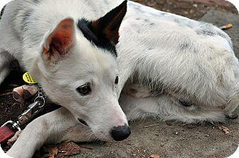Border Collie/Australian Cattle Dog Mix Dog for adoption in Washington, D.C. - Niko
