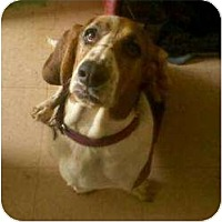 Basset Hound Dog for adoption in Acton, California - Luke