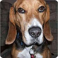 Adopt A Pet :: Jonas - Novi, MI