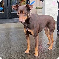 Adopt A Pet :: Bailey - Gig Harbor, WA