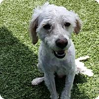Adopt A Pet :: Chaz - Chula Vista, CA