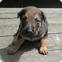 Adopt A Pet :: Queenie Puppies - West Warwick, RI