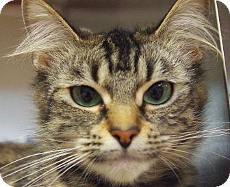 American Shorthair Cat for adoption in Daytona Beach, Florida - Layla