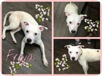 Pit Bull Terrier/Terrier (Unknown Type, Medium) Mix Dog for adoption in Colmar, Pennsylvania - Freya