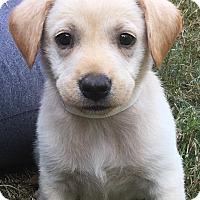 Labrador Retriever Mix Puppy for adoption in Burlington, Vermont - Gwen (has been adopted)