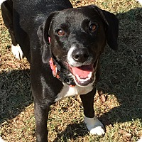 Beagle/Labrador Retriever Mix Dog for adoption in Colmar, Pennsylvania - Willow