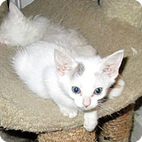 Domestic Shorthair Kitten for adoption in San Diego, California - DINKY