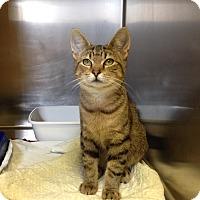 Domestic Shorthair Kitten for adoption in Triadelphia, West Virginia - H-1