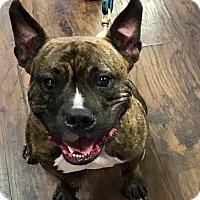 Adopt A Pet :: Russo - Colmar, PA