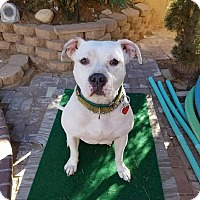 American Pit Bull Terrier Mix Dog for adoption in Van Nuys, California - Sunshine