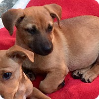 Jack Russell Terrier/Hound (Unknown Type) Mix Puppy for adoption in Atlanta, Georgia - Pudding