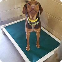 Vizsla/Beagle Mix Dog for adoption in Staunton, Virginia - Amy