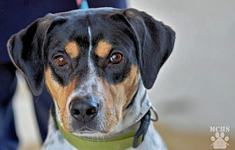Treeing Walker Coonhound/Bluetick Coonhound Mix Dog for adoption in Martinsville, Indiana - Molly