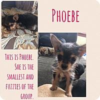 Adopt A Pet :: Phoebe - Renton, WA